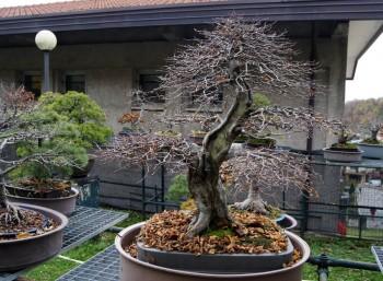 Come avete iniziato a fare bonsai? - Pagina 3 4a7322695712263
