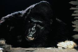КИНГ КОНГ ЖИВ ! / King Kong lives ! (1986) Линда Гамильтон 31b5fe1376283205