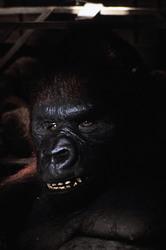 КИНГ КОНГ ЖИВ ! / King Kong lives ! (1986) Линда Гамильтон 0454d71376284203