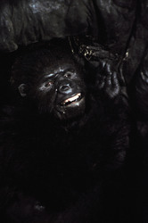 КИНГ КОНГ ЖИВ ! / King Kong lives ! (1986) Линда Гамильтон 0e67e71376284155