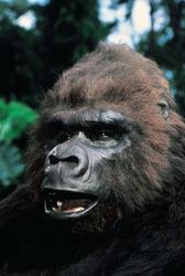 КИНГ КОНГ ЖИВ ! / King Kong lives ! (1986) Линда Гамильтон 6f367e1376284279